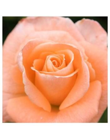 Meilland rosal sonia