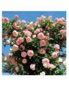 Meilland rosal trepadora pierre ronsard