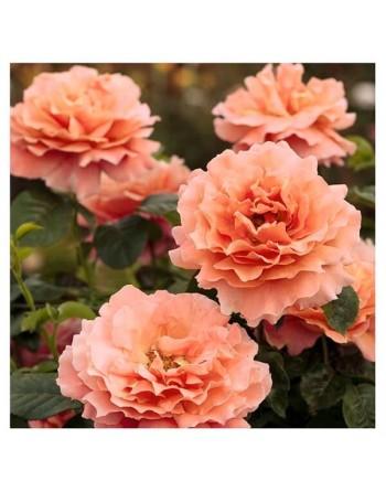 Meilland rosal trepador polka