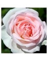 Meilland rosal andre le notre