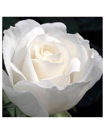 Meilland rosal alba garcia