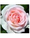 Meilland rosal trepador andre