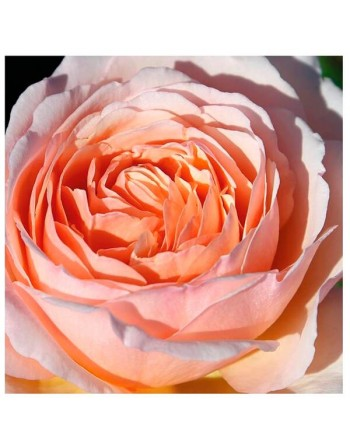 MEILLAND ROSAL PRINCESSE CHARLENE MONACO