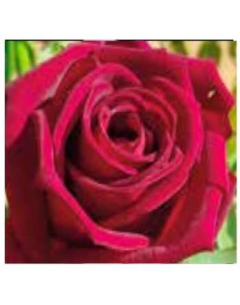 Meilland rosal black perfumella