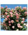 Milland rosal trepador cicalmen pierre ronsard