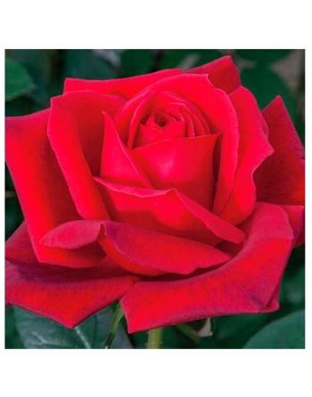 Meilland rosal jubile papa meilland
