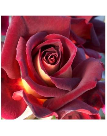 Meilland rosal eddy mitchel