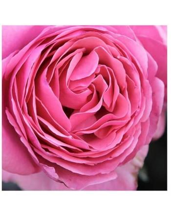 Meilland rosal line renaud