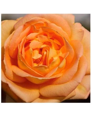 Meilland rosal arlequin