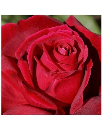 Meilland rosal chysler imperial